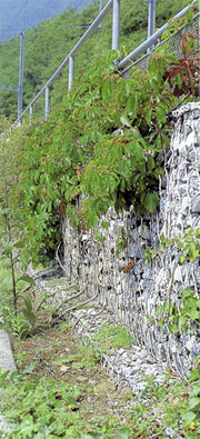 How many years does it take for gabion walls to become overgrown with vegetation?